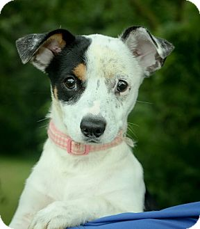 Terrier (Unknown Type, Small)/Chihuahua Mix Puppy for adoption in Anderson, Indiana - Ennie