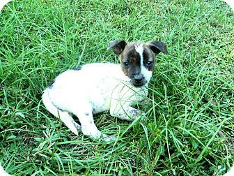 Hound (Unknown Type)/Shepherd (Unknown Type) Mix Puppy for adoption in Blountstown, Florida - Beauty