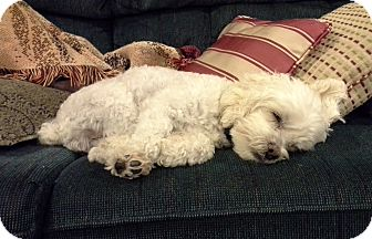 Maltese/Poodle (Miniature) Mix Dog for adoption in Bridgeton, Missouri - Cooper-Adoption pending
