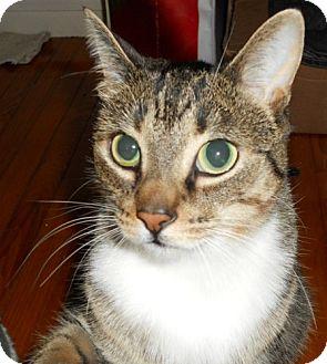 Domestic Shorthair Cat for adoption in Burlington, Ontario - Taylor