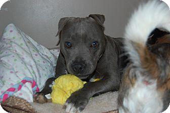 Boxer/Labrador Retriever Mix Dog for adoption in MILWAUKEE, Wisconsin - BELLE