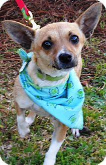 Rat Terrier/Chihuahua Mix Dog for adoption in Port St. Joe, Florida - TERRY