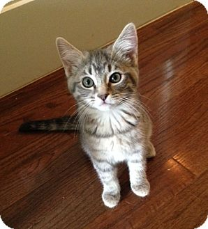 Domestic Shorthair Kitten for adoption in Knoxville, Tennessee - Lucy