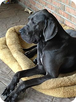 Great Dane Dog for adoption in Austin, Texas - Blue