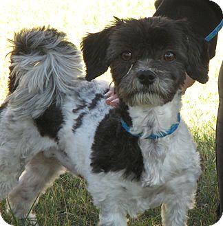 Shih Tzu/Poodle (Miniature) Mix Dog for adoption in Turlock, California - Charlie