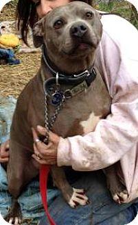 American Pit Bull Terrier Dog for adoption in Flintstone, Maryland - Sremmie