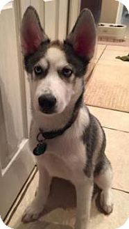 Husky/Alaskan Malamute Mix Puppy for adoption in New Smyrna Beach, Florida - Anika