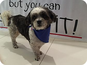 Shih Tzu/Chinese Crested Mix Dog for adoption in Los Angeles, California - CASANOVA