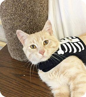 Domestic Shorthair Cat for adoption in Lloydminster, Alberta - Ira