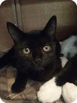 Domestic Shorthair Kitten for adoption in Toronto, Ontario - Jujube