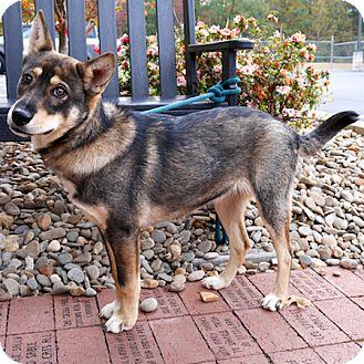 Husky/German Shepherd Dog Mix Puppy for adoption in Ardmore, Pennsylvania - Nicole