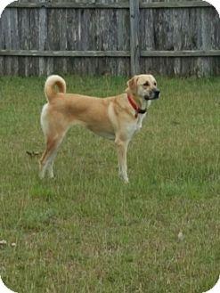 Labrador Retriever Mix Dog for adoption in Brattleboro, Vermont - Madee