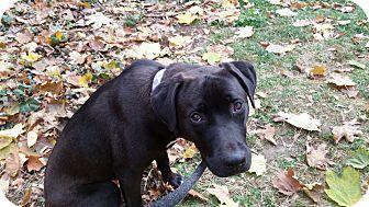 Labrador Retriever Mix Puppy for adoption in Allison Park, Pennsylvania - Lucy