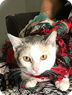 Domestic Shorthair Cat for adoption in Tampa, Florida - Princess Kate