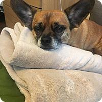 Adopt A Pet :: Bandit - San Francisco, CA