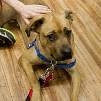 Catahoula Leopard Dog/Boxer Mix Dog for adoption in New York, New York - Christopher