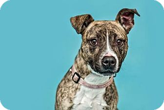 Boxer/Pit Bull Terrier Mix Dog for adoption in Monroe, Michigan - Asher