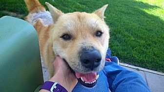 Jindo Mix Dog for adoption in Los Angeles, California - DaeYong
