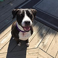 Pit Bull Terrier/Labrador Retriever Mix Dog for adoption in New York, New York - Cleopatra