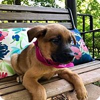 Adopt A Pet :: Calliope (RBF) - Washington, DC