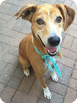 Labrador Retriever Mix Dog for adoption in Portland, Oregon - A - MONKEY