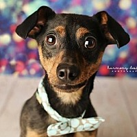 Adopt A Pet :: Chipparo - Nashville, TN