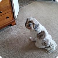 Papillon/Poodle (Miniature) Mix Dog for adoption in Braselton, Georgia - Harley