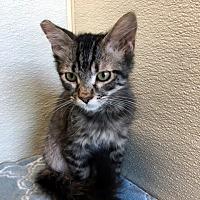 Adopt A Pet :: Lil Fuff - Las Vegas, NV