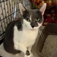 Adopt A Pet :: Toutoune - Montreal, QC