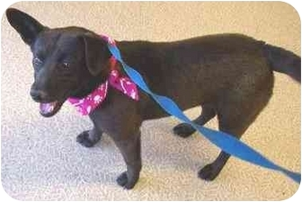 Corgi/Beagle Mix Dog for adoption in Anderson, Indiana - Jackie -Featured!