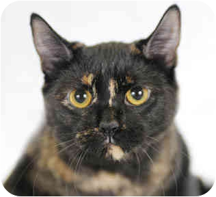 Domestic Shorthair Cat for adoption in Chicago, Illinois - Olive