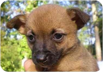 Dachshund/Chihuahua Mix Puppy for adoption in Front Royal, Virginia - Conner