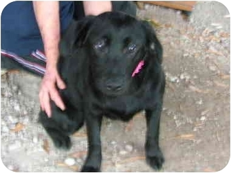 Labrador Retriever Mix Puppy for adoption in Bedminster, New Jersey - Clarice