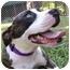 Photo 3 - American Bulldog/Boston Terrier Mix Dog for adoption in Mocksville, North Carolina - Belle