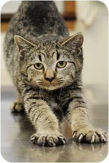 Domestic Shorthair Kitten for adoption in Murphysboro, Illinois - Tiber