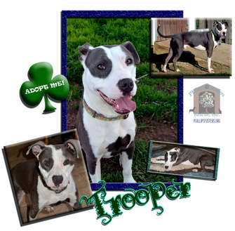 American Pit Bull Terrier/American Staffordshire Terrier Mix Dog for adoption in Colleyville, Texas - Trooper