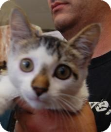 Domestic Shorthair Kitten for adoption in Brooklyn, New York - Norris