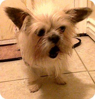 Brussels Griffon Dog for adoption in Winnetka, California - TRUFFLES