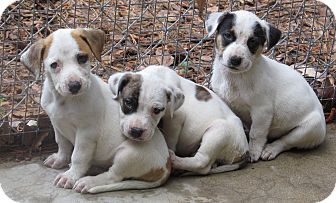 Corgi/Beagle Mix Puppy for adoption in Cairo, Georgia - Pups 1-2