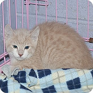 Domestic Shorthair Cat for adoption in New Martinsville, West Virginia - Buffy
