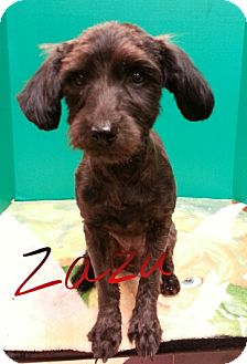 Terrier (Unknown Type, Small) Mix Dog for adoption in St. Robert, Missouri - Zack