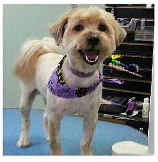 Terrier (Unknown Type, Small) Mix Dog for adoption in Shawnee Mission, Kansas - Phillip aka Philly