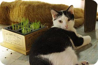 Domestic Shorthair Cat for adoption in Elyria, Ohio - Sig