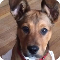 Sheltie, Shetland Sheepdog/Terrier (Unknown Type, Medium) Mix Dog for adoption in Eatontown, New Jersey - Lola