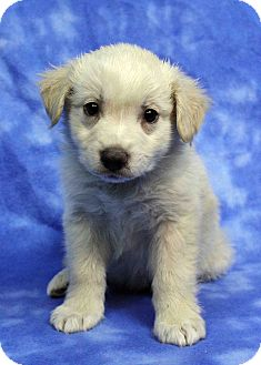 Golden Retriever Mix Puppy for adoption in Westminster, Colorado - Kai