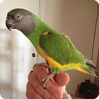 Adopt A Pet :: Captain Feathers - St. Louis, MO
