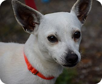 Chihuahua Dog for adoption in Bradenton, Florida - Blitz