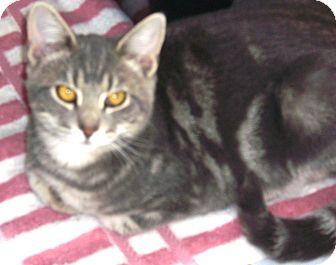Domestic Shorthair Cat for adoption in Alden, Iowa - Wavy