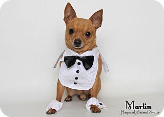 Chihuahua Mix Dog for adoption in Tracy, California - Mini-Martin