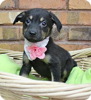 Retriever (Unknown Type) Mix Puppy for adoption in Benbrook, Texas - Aquarius